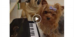 yorkie dog playing piano