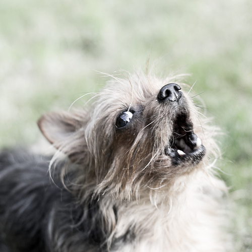 Types of Yorkie Barking