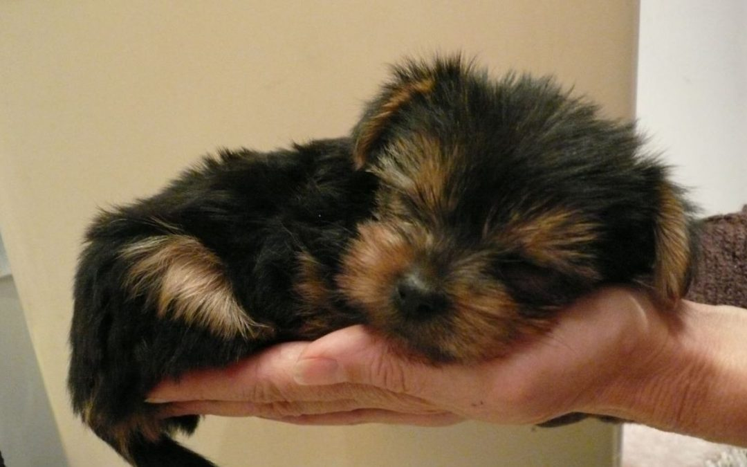 Taking Care of Your Newborn Yorkie Puppies