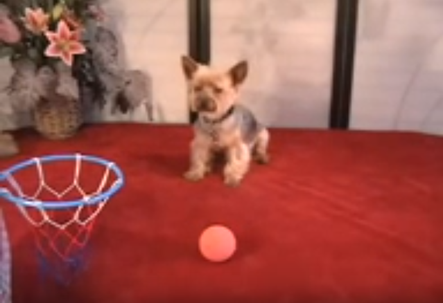 Jilli the Yorkie Does Some Awesome Dog Tricks