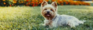 7 awesome Yorkie facts
