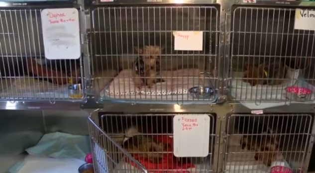 yorkie overload in local shelter