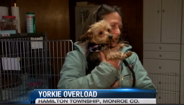 Local Shelter Overloaded with Yorkies