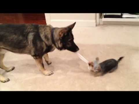 Yorkie and German Shepherd Plays Tug of War