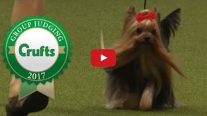 yorkie at dog competition