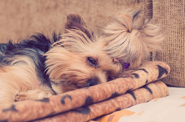 What To Do if Your Yorkie Has Diarrhea?