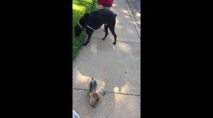 yorkie dog video