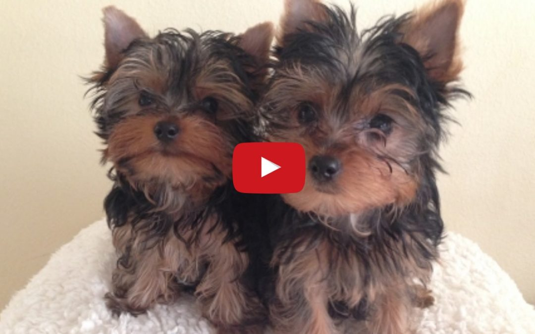 Funny Yorkie Puppies Lucy and Linus Playing :)