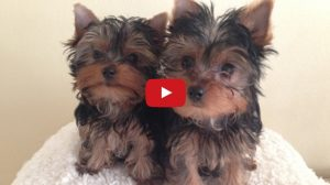 yorkie puppies video