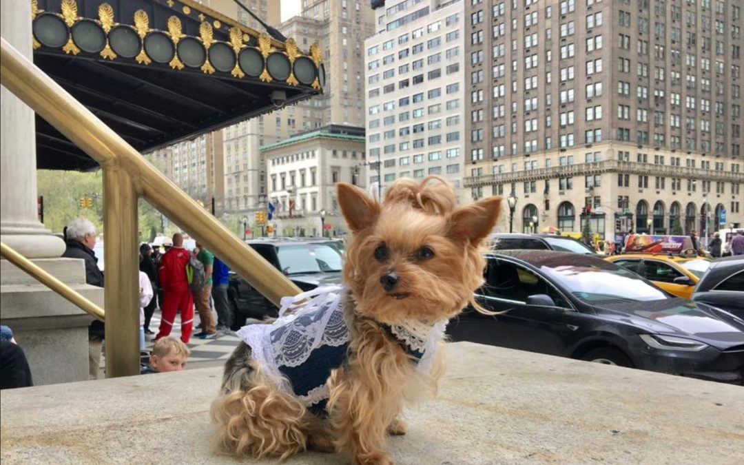 This Little Yorkie Stars In Her Own Pretty Woman Movie!