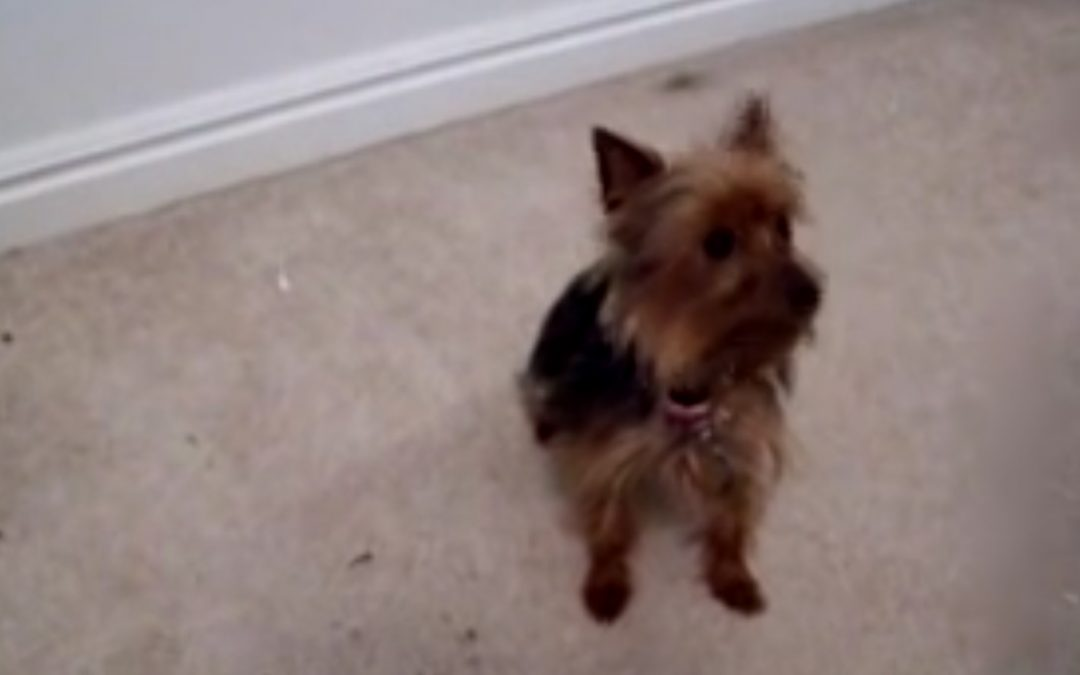 Is This the Best Trained Yorkie Ever?