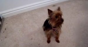 Best Trained Yorkie