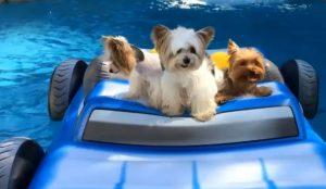 Floating Pool Yorkies
