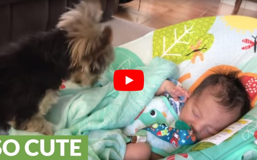Max the Yorkie Tucks in His Baby Human Brother!