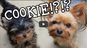 two yorkie puppies - cookies