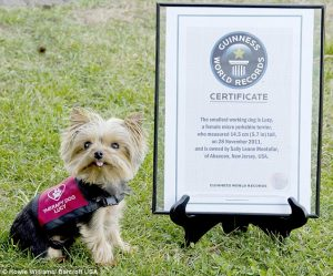 yorkie with certificate