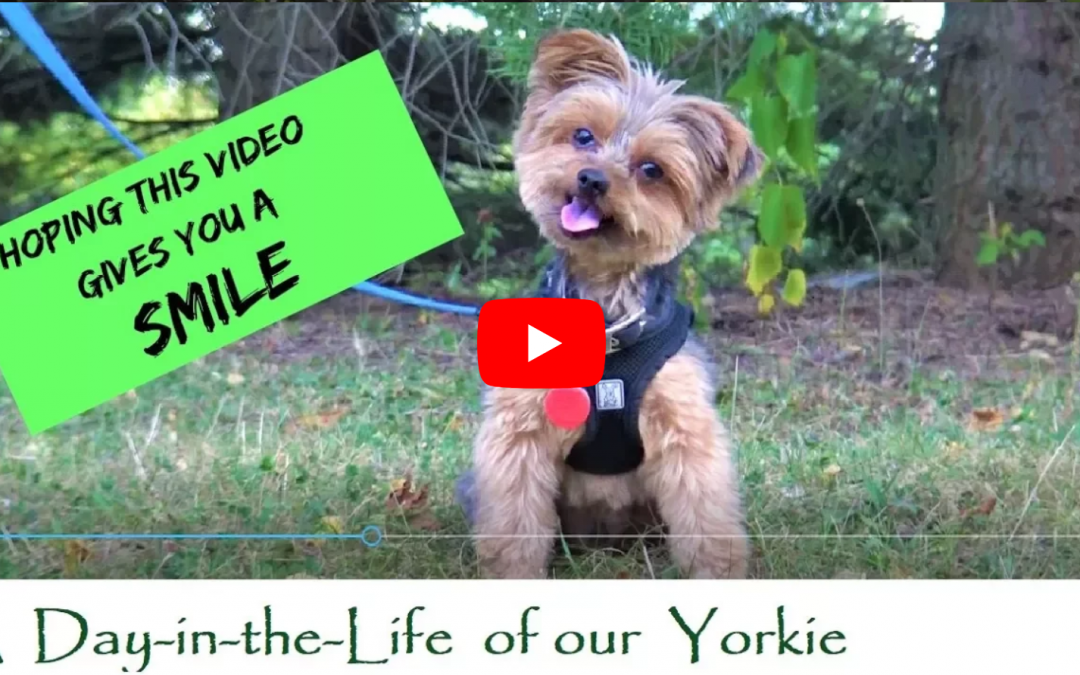 Funny Little Yorkie Dog Having Some Cute Puppy Fun