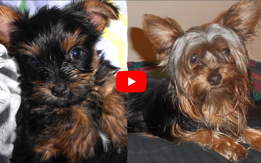 Cute Yorkie Puppy Rex Grows Up Right Before Your Eyes!