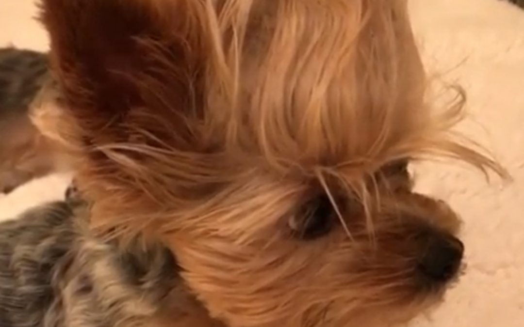 Yorkie Almost Falls Asleep, But Not Quite…