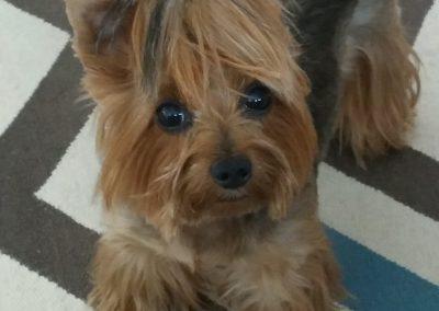 little yorkie dog