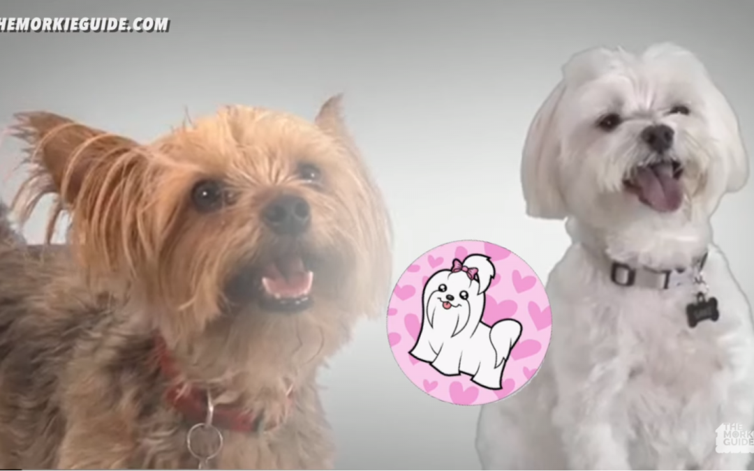 What is a Morkie?  Is a Morkie Right For You?
