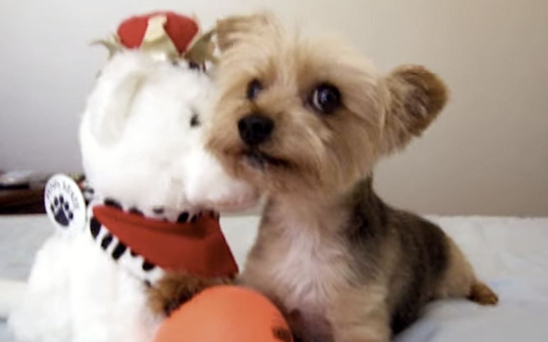 Cute But Angry Yorkie Doesn't Want To Give Up His Ball