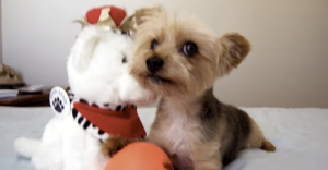yorkie dog holding ball with stuffed bear