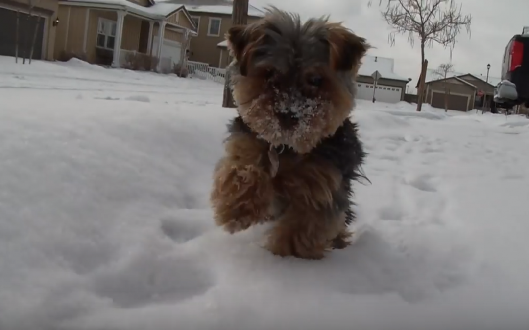 Does Your Yorkie Hate Snow?  Here's Something to Both Help & Inspire!