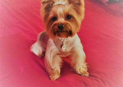 yorkie terrier wearing tiara
