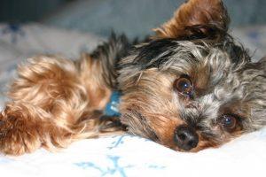 sleeping yorkie dog