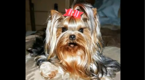 Yorkie Singing Happy Birthday