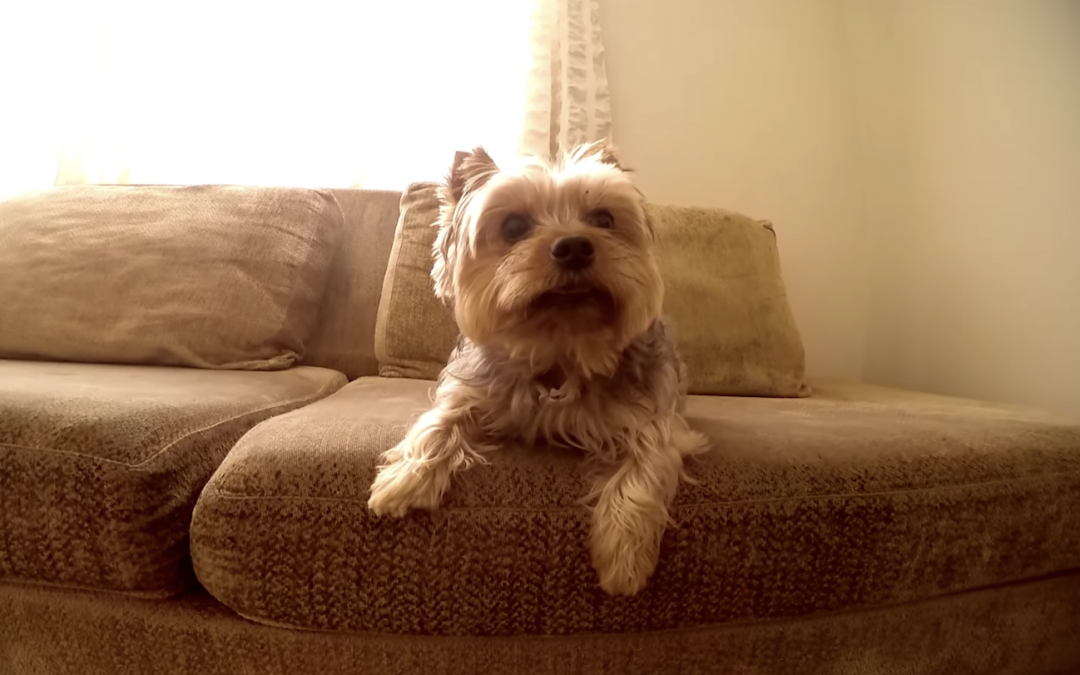 Watch this Yorkie's Cute Reaction To Seeing His Human Dad Come Home!