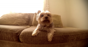 yorkie sitting on couch