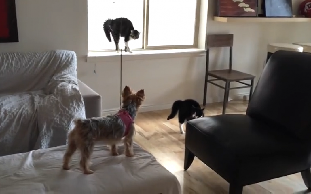 Excited Yorkie Vs Scaredy Cats