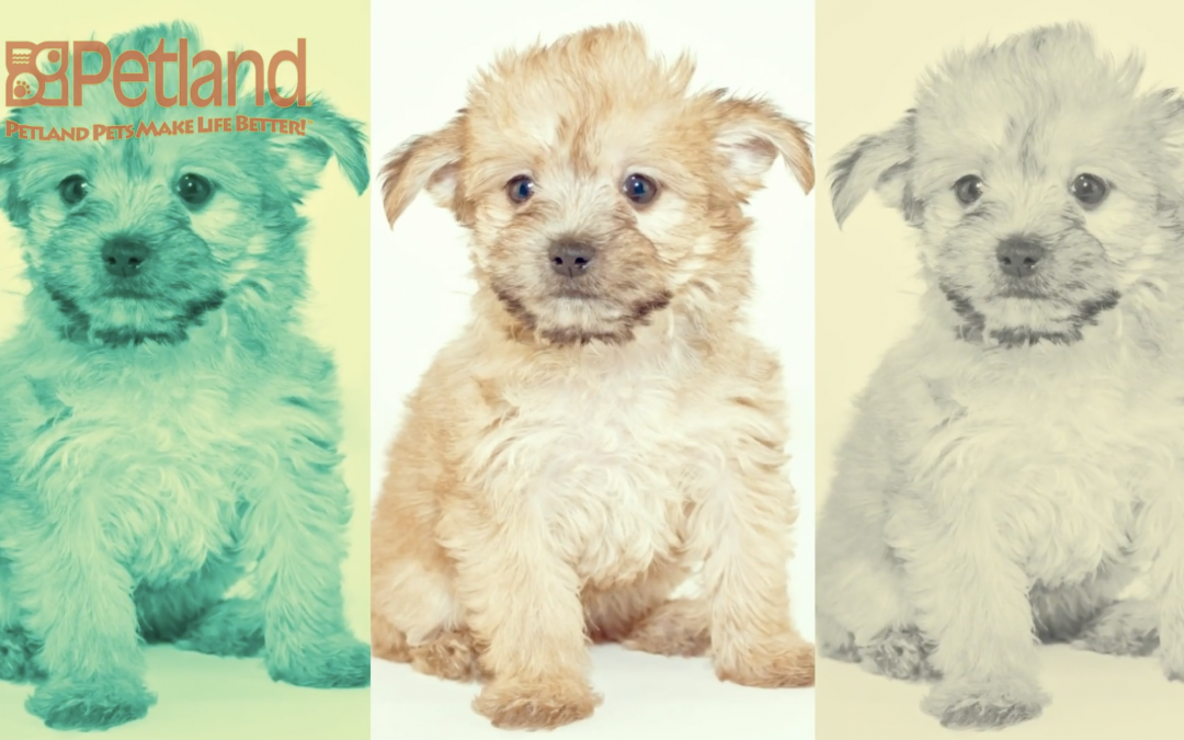 Have You Heard of the 'Yorkie-Poo'?