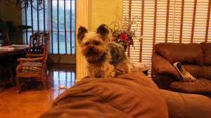 small yorkie terrier