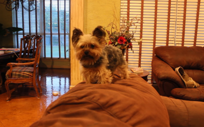 Nero the Yorkie is Left Home Alone!