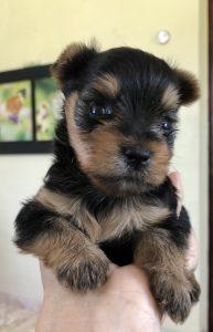 baby yorkie dog