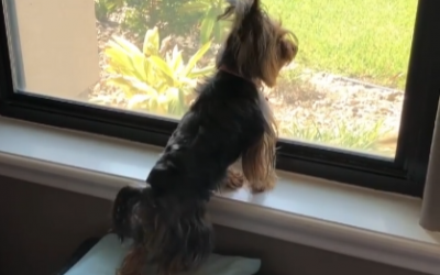 Cute Yorkie's Daily Greeting to Dad Coming Home