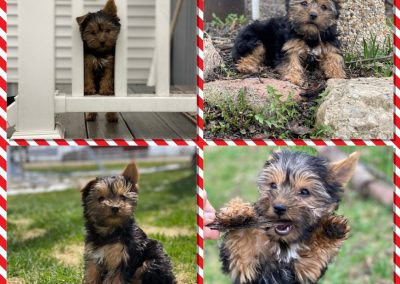 collage of yorkie puppy