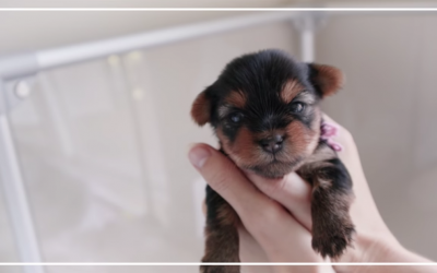 Raising Cute Yorkie Puppies from 3 to 6 Weeks Old!