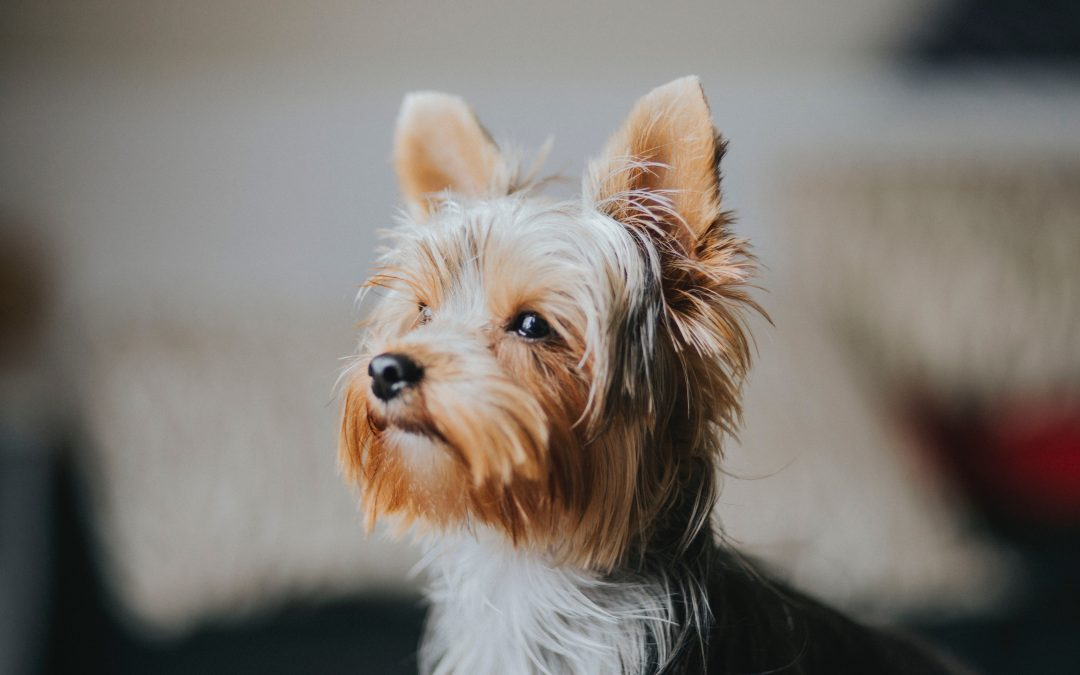 Great AKC Article About Yorkies
