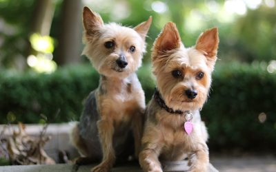 Cute Yorkies of Instagram